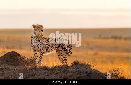 Nach weiblichen Geparden (Acinonyx jubatus) Gegenlicht der Sonne steht, wachsam und aufmerksam im Grünland, Masai Mara National Reserve, Kenia - Stockfoto