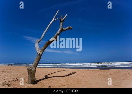 Toter Baum am Strand von Balapitiya. Unberührten tropischen Strand. - Stockfoto