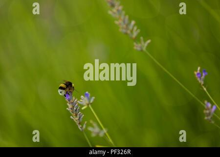 Bumblee in einem Feld von Lavendel im Sommer. - Stockfoto