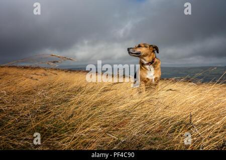 UK Wetter: Senior Hund genießen den Duft von einem breezy warmen Tag auf Ilkley Moor - Stockfoto