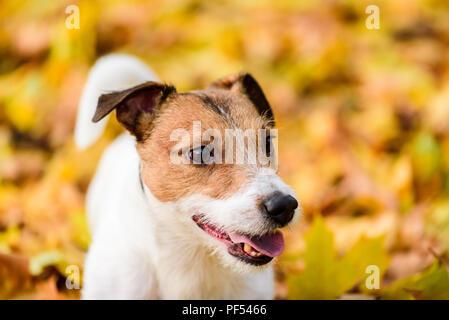 Herbstliche Portrait von süßen Jack Russell Terrier hunde Welpen - Stockfoto