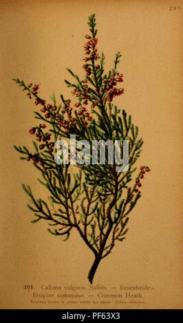 Atlas De La Flora alpine (pl. 301)