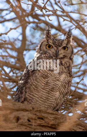 Porträt eines Afrikanischen Scops-Owl sitzen im Schatten eines Baumes wach mit beiden geöffneten Augen und Ohren nach oben zeigend, Namibia - Stockfoto