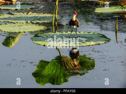 Kamm-Crested Jacana, auch als Lotus Vogel oder Lily - Trotter bekannt, stehend auf einem Lotus Blatt im Gelben Fluss, Kakadu National Park, Northern Territories, EIN - Stockfoto