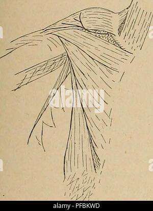 Der Plexus zerviko-Positionen der Primaten. Plexus brachialis ...
