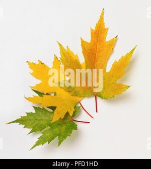 Acer saccharinum, drei Silber Ahorn Blätter im Herbst. - Stockfoto