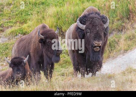 Bisons (Bison Bison) Stier und Kuh, Yellowstone-Nationalpark ... 86d7a3f659