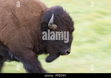 Ausführen von American Buffalo Bull (Bison bison) Nahaufnahme - Stockfoto ab8725f596