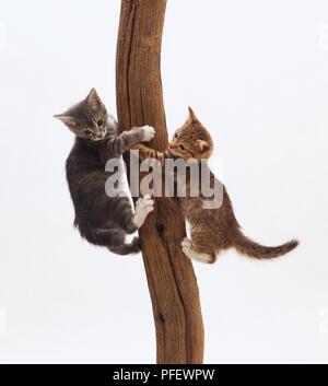 Zwei Kätzchen (Felis sylvestris catus) Festhalten an den gegenüberliegenden Seiten eines Baumes - Stockfoto
