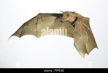 Die franquet Epauletted Bat (Epomops franqueti) im Flug, Seitenansicht - Stockfoto
