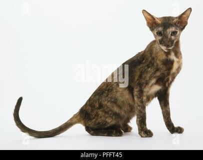 Orientalisch Kurzhaar schildpatt Katze Stockfoto, Bild: 216092490 ...
