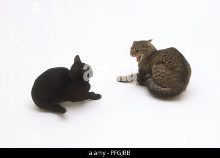 Nach braun Tabby Katze fauchen auf verängstigte schwarze Katze - Stockfoto
