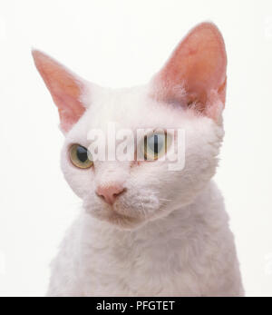 White Devon Rex Katze, close-up - Stockfoto