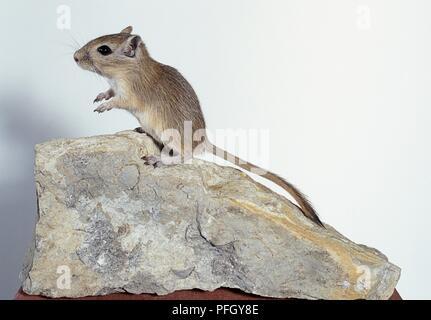 Mongolische Wüstenrennmaus (Meriones unguiculatus) steht auf einem Felsen, Seitenansicht - Stockfoto