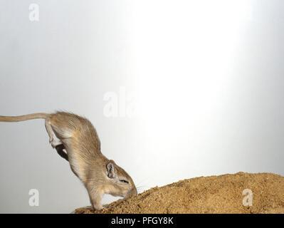 Mongolische Wüstenrennmaus (Meriones unguiculatus) Landung nach dem Sprung mit Druckseite nach unten - Stockfoto