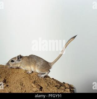 Mongolische Wüstenrennmaus (Meriones unguiculatus), Seitenansicht - Stockfoto