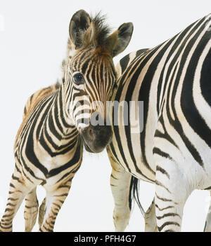 Gemeinsame Zebra (Equus burchelli), ein Fohlen lehnte seinen Kopf gegen seine Mutter's Bauch, Vorderseite - Stockfoto