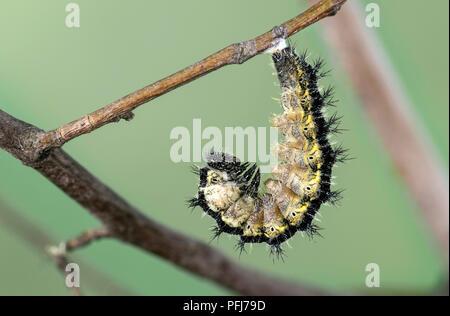 Caterpillar der Kleine Fuchs (Nymphalis urticae), ein Schmetterling aus der Familie der, bereit zu verpuppen, Schweiz