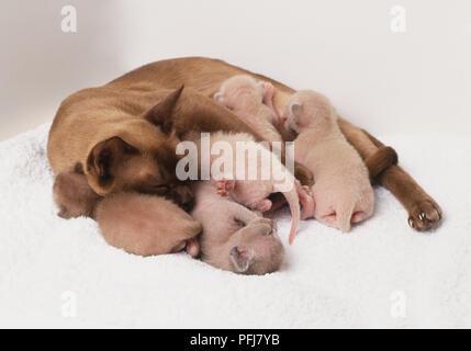 Hauskatzen (Felis silvestris), Tonkonese Mutter Katze, grau braun Mantel, um vier kleine weiße Kätzchen, zwei Saugen - Stockfoto