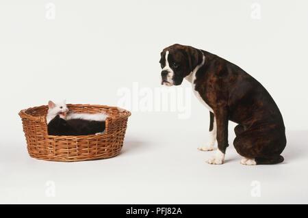 Boxer Hund (Canis familiaris) Vor zwei Kätzchen (Felis sylvestris catus) im Weidenkorb gewellt Sitzen, von der Seite. - Stockfoto