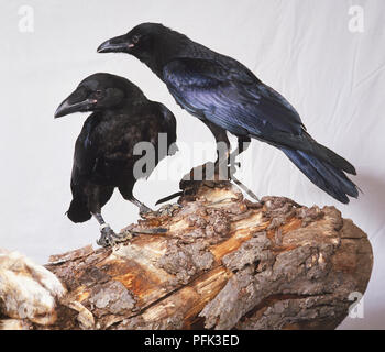 Zwei Kolkrabe, Corvus Corax ravens thront auf Holz- Niederlassung. - Stockfoto