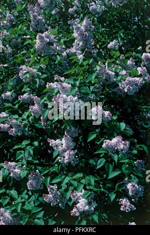 Syringa vulgaris 'Madame Antoine Buchner' mit lila Blumen und grüne Blätter - Stockfoto