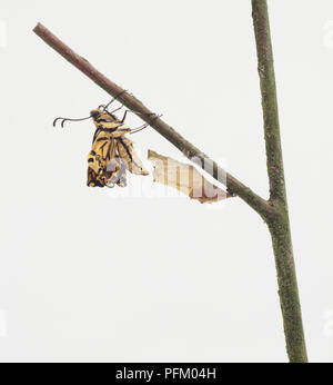 Europäische Schwalbenschwanz Schmetterling (Zygaena Filipendulae) Emerging von Cocoon - Stockfoto