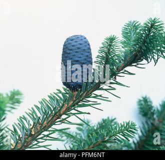 Blauer Kegel auf Zweig von Abies alba (Europäische Silbertanne), close-up - Stockfoto
