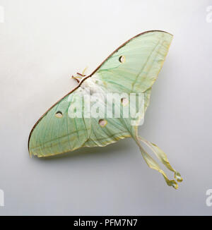 Indian Moon Moth (Actias selene), grüne Spinne, close-up - Stockfoto