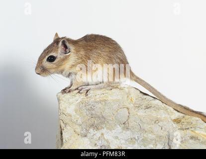 Mongolische Wüstenrennmaus (Meriones unguiculatus) auf einem Stein saß - Stockfoto