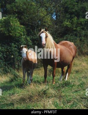 Zwei Kastanien farbige Welsh Mountain Ponys (Equus caballus), trächtige Stute und Fohlen in einem Feld - Stockfoto