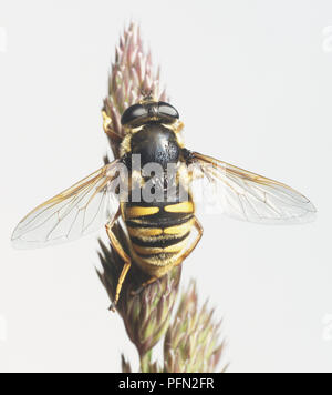 Hoverfly (Syrphidae) thront auf einem Knospe, in der Nähe - Stockfoto