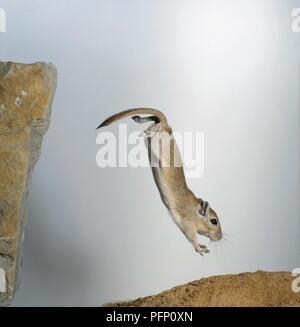 Mongolische Wüstenrennmaus (Meriones unguiculatus) Springen Kopf aus einem Felsen. - Stockfoto