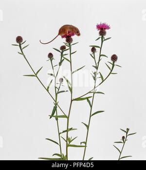Ernte Maus auf flockenblume Blume gehockt - Stockfoto