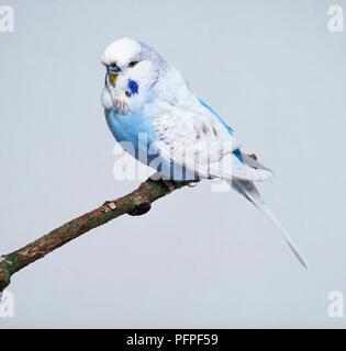 Kobaltblau SPANGLE WELLENSITTICH - SEITENANSICHT - Stockfoto