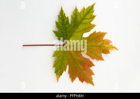 Acer saccharinum (Silber Ahorn), bunten Herbst Blatt - Stockfoto