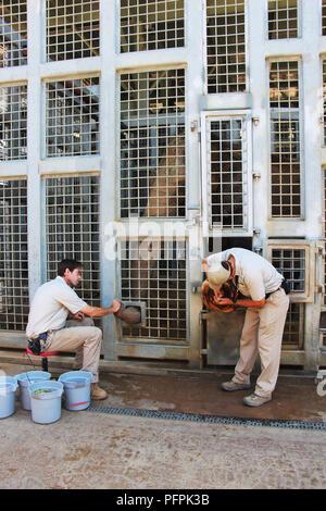 Ein Elefant. Während ein Zoo Keeper ist Schrubben der Fuß des Elefanten, ein weiterer Mitarbeiter ist die Fütterung der Elefanten mit Früchten. San Diego Zoo - Stockfoto