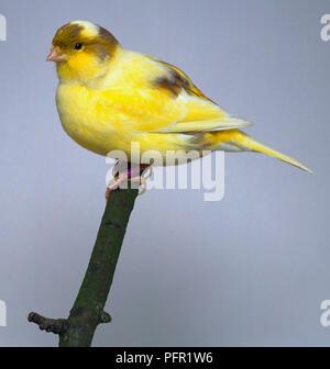 Gelber Rahmen Fancy Canary - Seitenansicht - Stockfoto