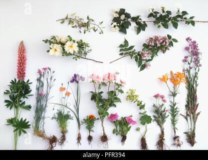 Stämme der Süß-Rakete (Hesperis matronalis) mit Blättern und Blüten - Stockfoto