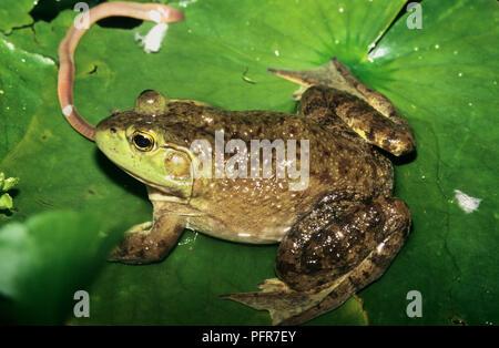 Ochsenfrosch (Rana Lithobates catesbeianus) oder (catesbeianus) Essen einen Regenwurm in einem Sumpf in SW Idaho - Stockfoto