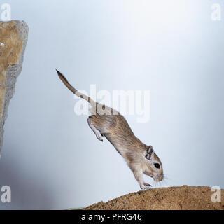 Mongolische Wüstenrennmaus (Meriones unguiculatus) nach unten von einem Rock zu einem anderen springen, Seitenansicht - Stockfoto