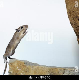 Mongolische Wüstenrennmaus (Meriones unguiculatus), von einem Stein zum anderen springen, Seitenansicht - Stockfoto