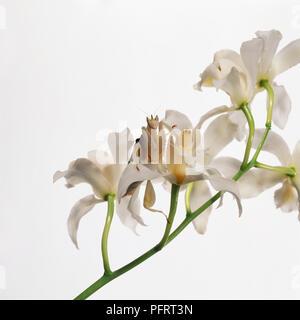 Orchid Mantis (Hymenopus coronatus) unter orchid flower Köpfe, close-up - Stockfoto