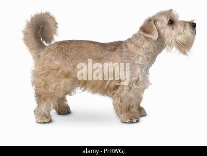 Lucas Terrier, Seitenansicht - Stockfoto