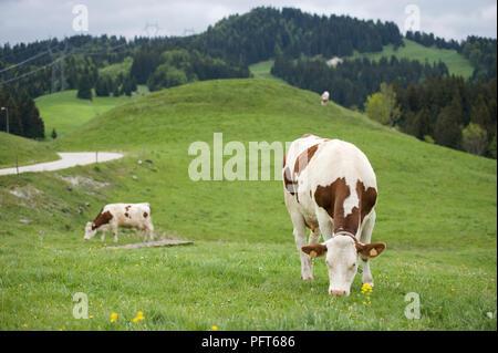 Frankreich, Jura, Les Moussieres, Simmental Milchkühe grasen in Feld in einer üppigen Landschaft - Stockfoto