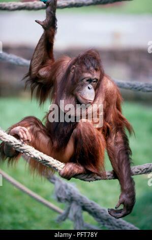 Männliche bornesischen Orang-utan (Pongo pygmaeus) sitzen auf das Seil im Gehäuse - Stockfoto