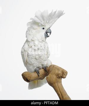White Cockatoo, Dach Kakadu (Cacatua Alba), 3-Year-Old weiblich - Stockfoto