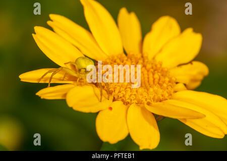 Nahaufnahme der Krabbe Spider auf Gelbe daisy Gesicht getarnt. - Stockfoto