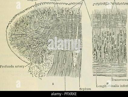 Cunninghams Lehrbuch der Anatomie. Anatomie. Die Zunge. 1127 Papille ...