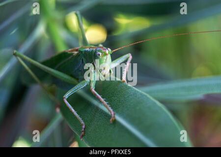 Grasshopper, Super Green Bush Cricket (Tettigonia Viridissima) sitzt auf einem Oleander (Nerium oleander), Baden-Württemberg - Stockfoto